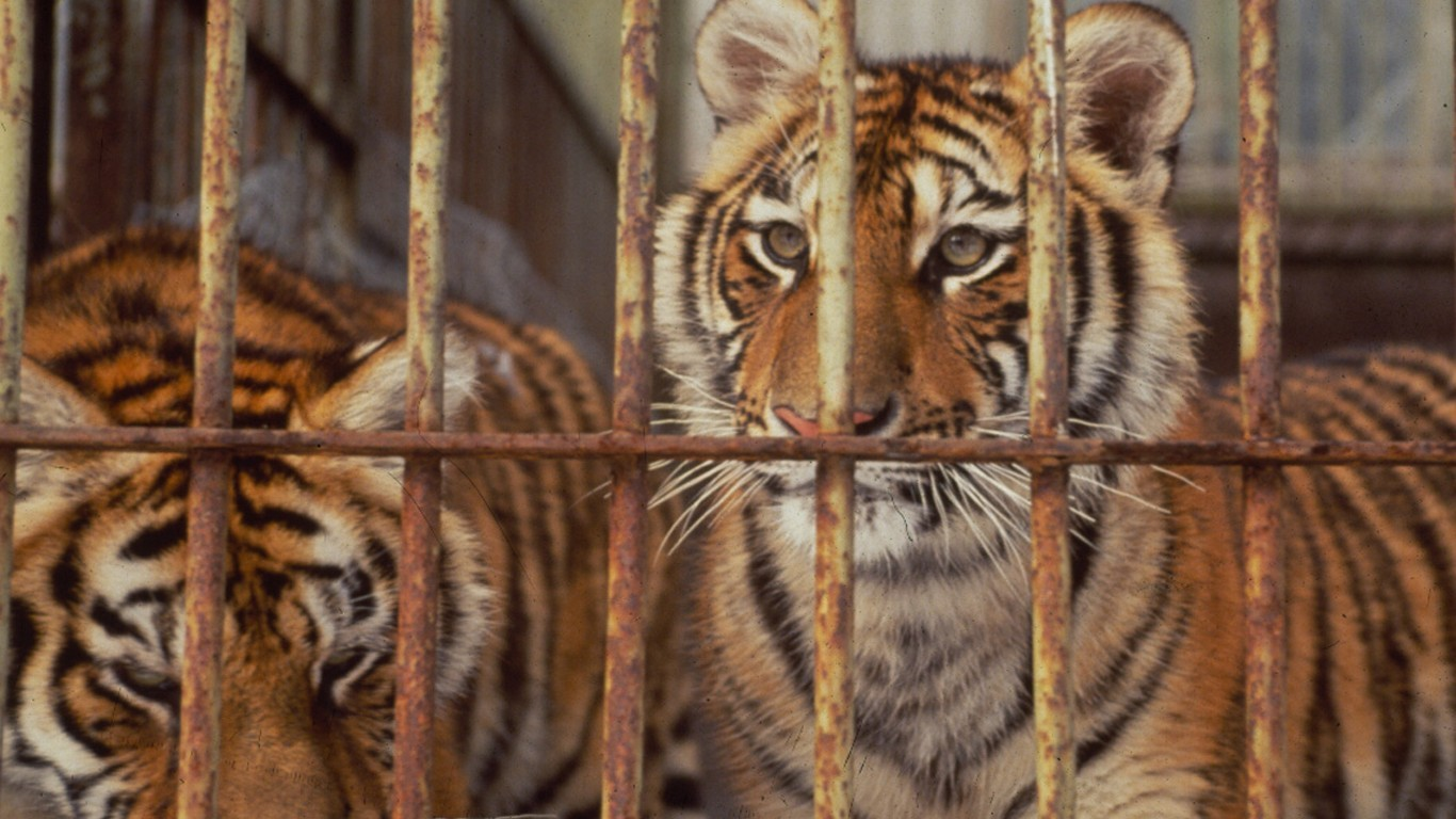 We support an end to all tiger and lion farms in China!